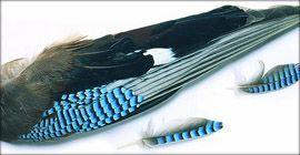Piume di ghiandaia Blue Jay Wing