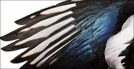 Magpie Wings Coppia ali di gazza