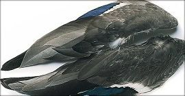 Mallard Duck Wings (1 matched pa