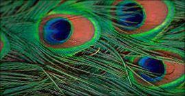 Occhio della coda di pavone