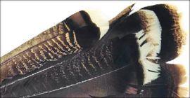 Coda di tacchino