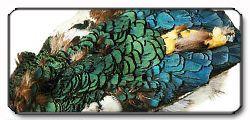 Amherst Pheasant fagiano argenta