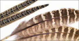 Fasanenfedern (Henne) Wing Quill
