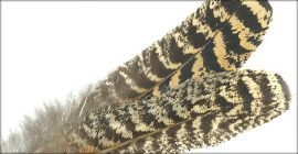Mottled Turkey Feathers