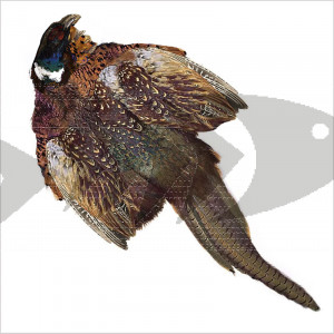 Cock Pheasant Ringneck Whole Skin - For many fly patterns, as wing, body tail material